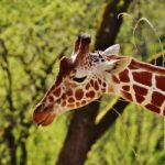 5 Giraffe Fun Facts You Didn't Know